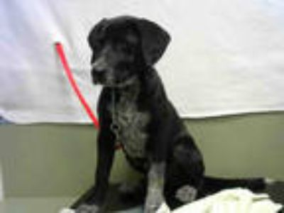 Adopt a Black - with White Pointer / Labrador Retriever / Mixed dog in Moreno