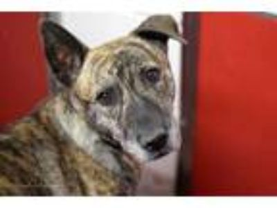 Adopt LOTUS a Brindle - with White German Shepherd Dog / Mixed dog in Tucson