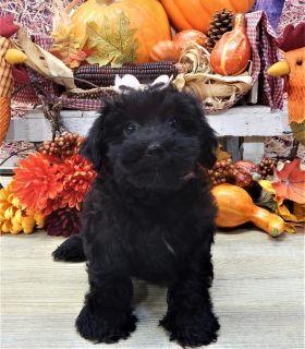 Havanese PUPPY FOR SALE ADN-96487 - Havanese Puppy