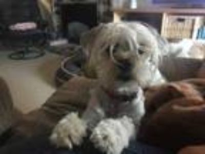 Adopt Lucy a Havanese, Poodle