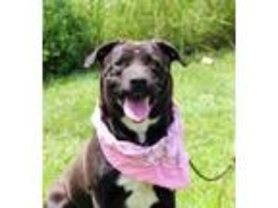 Adopt Irish a Labrador Retriever, Chow Chow