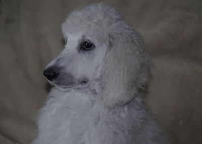 AKC Standard Poodle Puppies In Michigan-Beautiful.