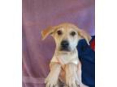 Adopt La La a Yellow Labrador Retriever