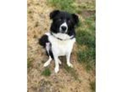 Adopt Dolly a Border Collie, Mixed Breed
