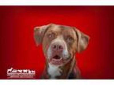 Adopt Oakley a Brown/Chocolate Labrador Retriever / American Pit Bull Terrier /