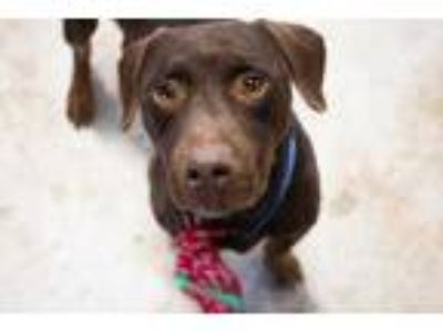 Adopt Eli a Brown/Chocolate Labrador Retriever / Mixed dog in Dahlonega