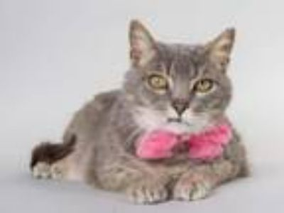 Adopt Alette a Domestic Short Hair