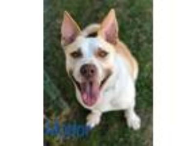 Adopt Hodor a Labrador Retriever, Australian Cattle Dog / Blue Heeler
