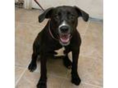 Adopt Phaelyn (PAWS) a Black American Pit Bull Terrier / Mixed dog in