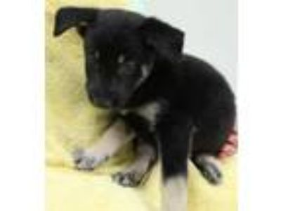 Adopt Bamm Bamm 30561 a Black - with Tan, Yellow or Fawn Shepherd (Unknown Type)