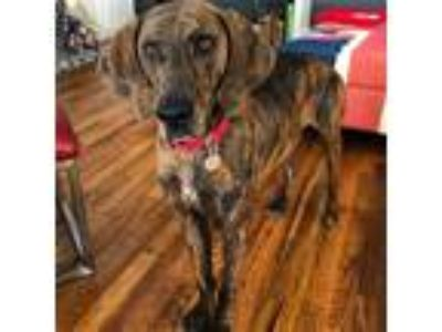 Adopt River - 732 a Plott Hound