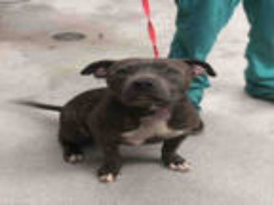 Adopt TARI a Gray/Silver/Salt & Pepper - with White American Pit Bull Terrier /