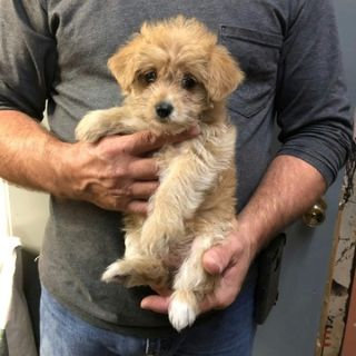 Yorkie-Poo PUPPY FOR SALE ADN-107387 - YorkiePoo Puppies