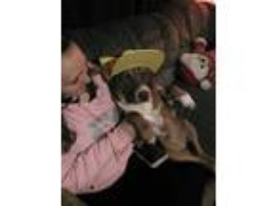 Adopt Xavier a White - with Brown or Chocolate Labrador Retriever / American Pit