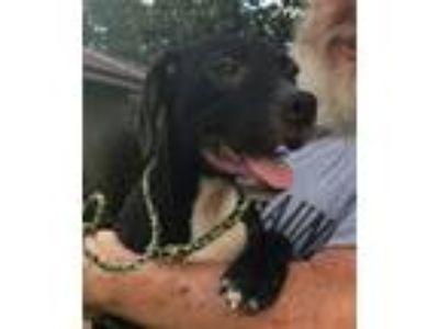 Adopt Checkers a Labrador Retriever