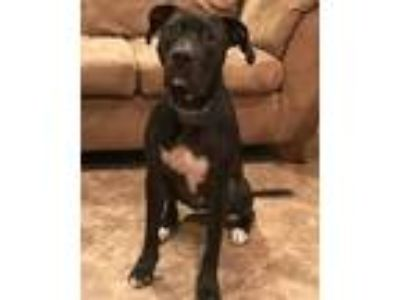 Adopt Phil a Black Labrador Retriever / Mixed dog in Denton, TX (25327044)