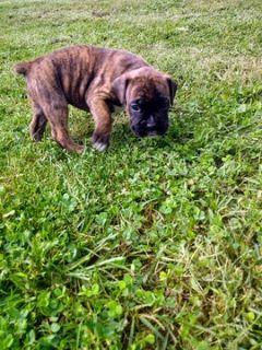 Boxer PUPPY FOR SALE ADN-96054 - AKC Boxer puppy