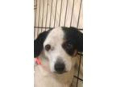 Adopt Ziggy a White Jack Russell Terrier / Mixed dog in Altoona, PA (25863583)