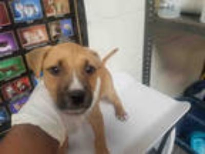 Adopt CANDICE a Brown/Chocolate - with White American Pit Bull Terrier / Mixed