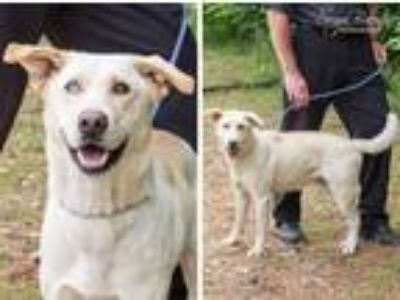 Adopt Alex a Labrador Retriever