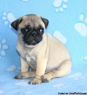 adorable pug puppies for adoption