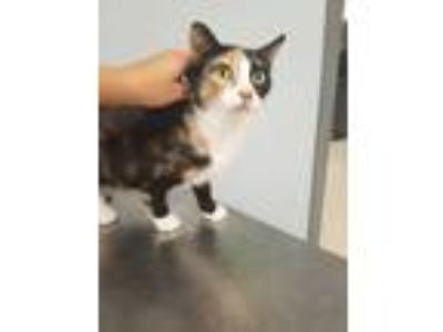 Adopt Thistle a All Black Domestic Shorthair / Domestic Shorthair / Mixed cat in