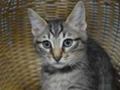 Adopt Blue a Domestic Shorthair / Mixed cat in Portland, OR (25819552)