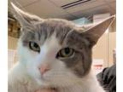 Adopt Ivan a Gray or Blue Domestic Shorthair / Domestic Shorthair / Mixed cat in