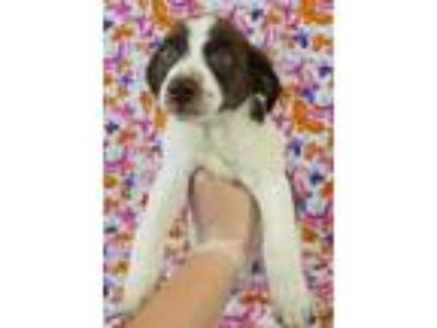 Adopt Quade a Jack Russell Terrier, Spaniel
