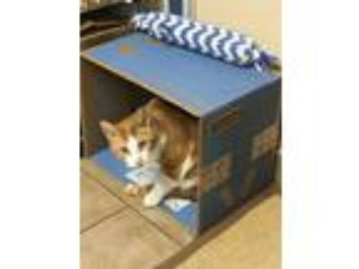 Adopt Pat the Cat **Courtesy Listing** a Domestic Short Hair