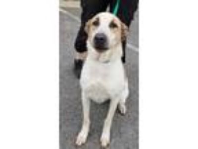 Adopt Penny a White Australian Cattle Dog / Mixed dog in Chattanooga