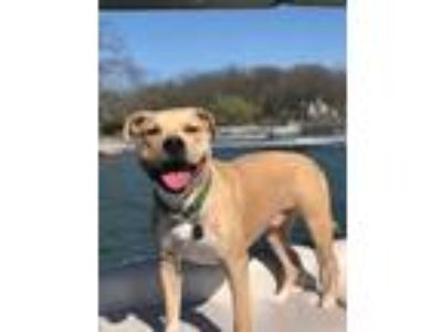 Adopt Blaze a Tan/Yellow/Fawn - with White American Staffordshire Terrier /