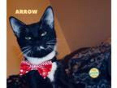 Adopt Arrow a Black & White or Tuxedo Domestic Shorthair (short coat) cat in
