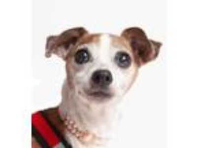 Adopt Tootsie a Brown/Chocolate Jack Russell Terrier / Beagle / Mixed dog in San