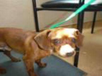 Adopt A1131973 a Dachshund, Mixed Breed