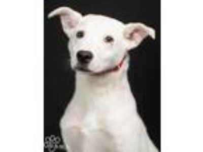 Adopt Chief a White Labrador Retriever / American Pit Bull Terrier / Mixed dog