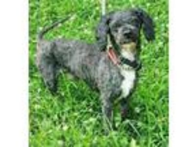 Adopt Cannoli a Poodle, Mixed Breed