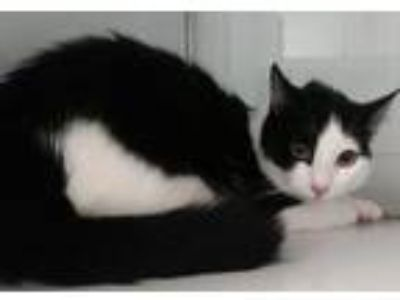 Adopt Malory a Domestic Shorthair / Mixed cat in Fresno, CA (24366381)