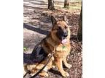 Adopt Zetta a German Shepherd Dog