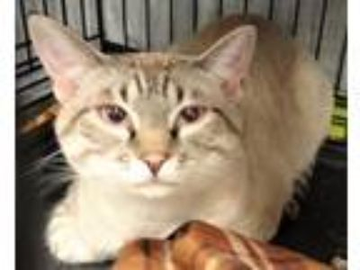 Adopt Riley a Tan or Fawn (Mostly) Siamese / Mixed (short coat) cat in Logan