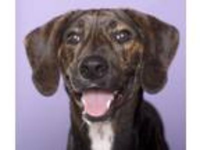Adopt Bodhi a Black - with Tan, Yellow or Fawn Pointer / Hound (Unknown Type) /