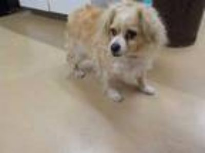 Adopt *JERRY a Tan/Yellow/Fawn - with White Cocker Spaniel / Mixed dog in