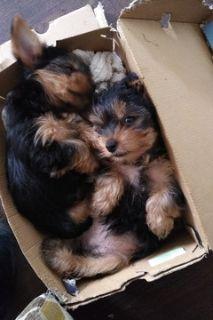 Yorkshire Terrier PUPPY FOR SALE ADN-105359 - Yorkie puppies