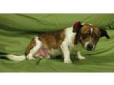 Adopt Oswald a Brindle - with White Dachshund / Mixed dog in Centerton