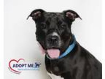 Adopt Cambridge a Black Terrier (Unknown Type, Medium) / Mixed dog in