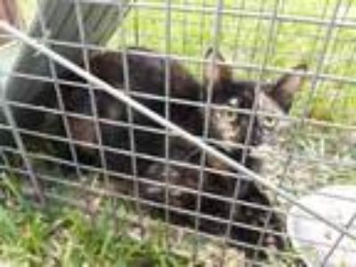 Adopt Feral 1500 block pecos st a All Black Domestic Shorthair / Domestic