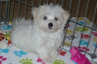 Maltese PUPPY FOR SALE ADN-99956 - Maltese Puppy