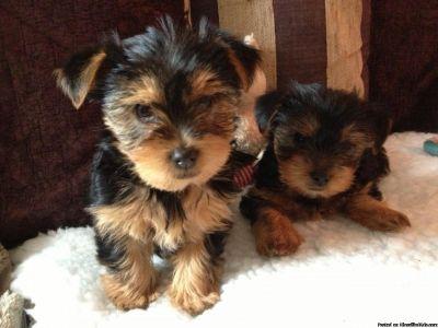 Tiny Yorkie Puppies! Text 614-344
