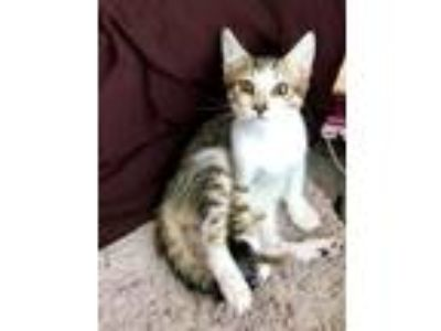 Adopt London a Brown Tabby Domestic Shorthair / Mixed (short coat) cat in Fort