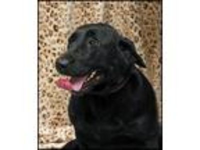 Adopt LuLu a Labrador Retriever / Mixed dog in Kingsland, GA (25359497)